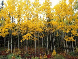 Aspen and Birch Denali National Park Alaska